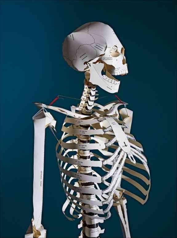 bild der wissenschaft Shop | Das menschliche Skelett. Karton-Bausatz ...